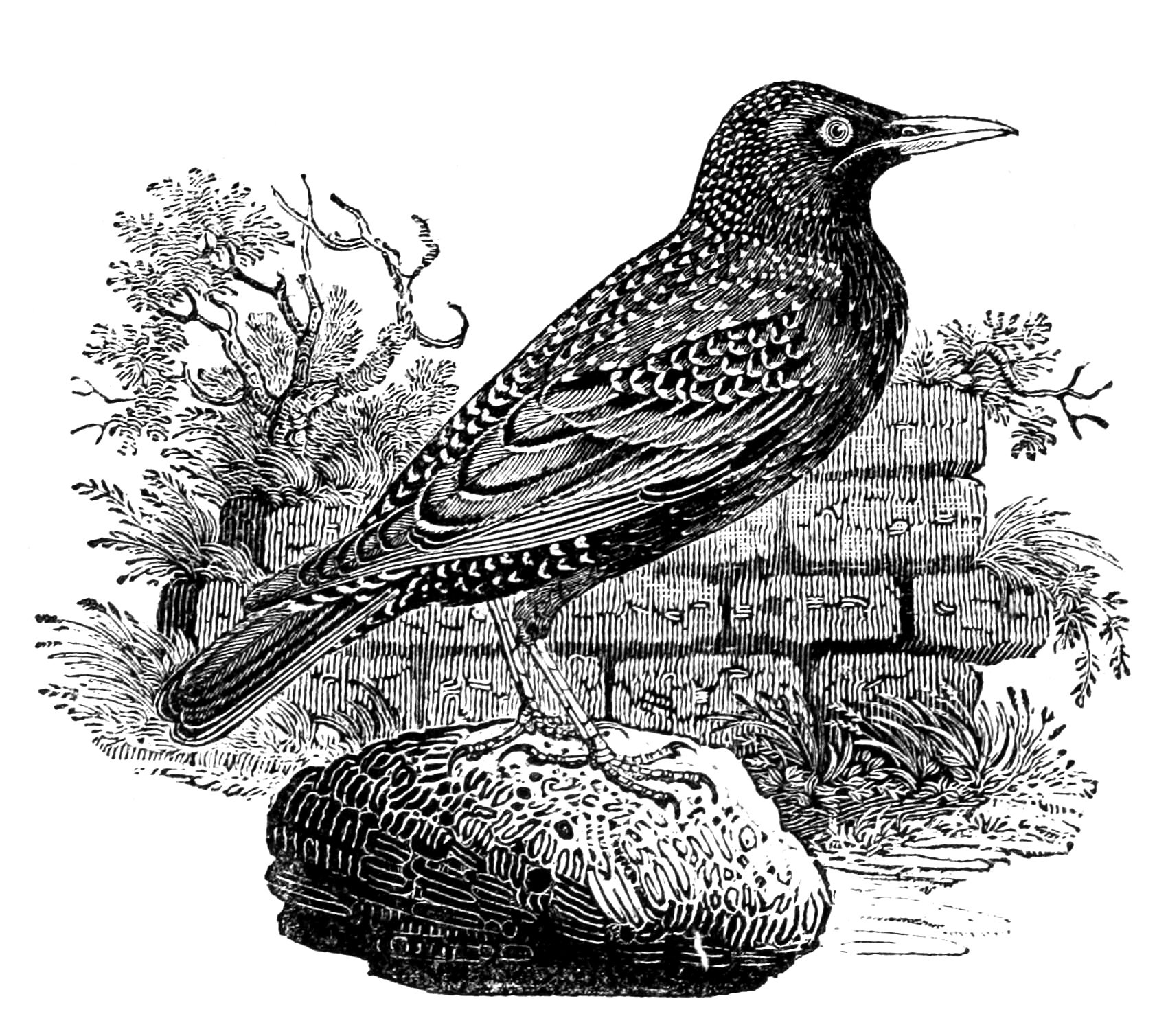 Blackbird illustration